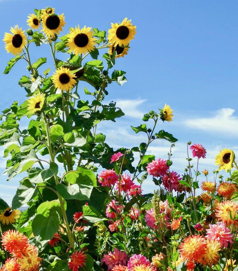Słoneczniki i kwiaty, góra kapiszon, Oregon zdjęcia stock