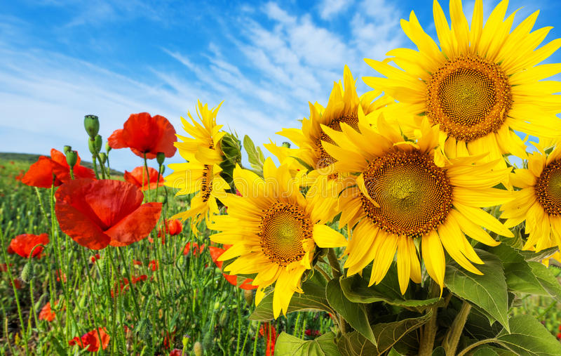 Słoneczniki i maczki zdjęcie royalty free