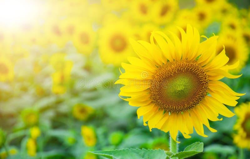 Słoneczniki kwitną w ogródzie zdjęcia stock