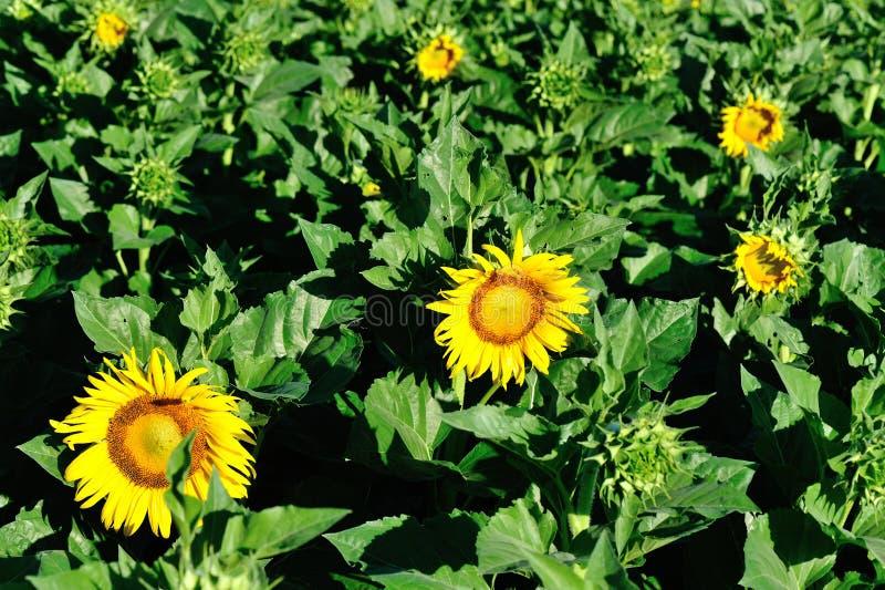 Słoneczniki kwitnie w świetle słonecznym obraz royalty free
