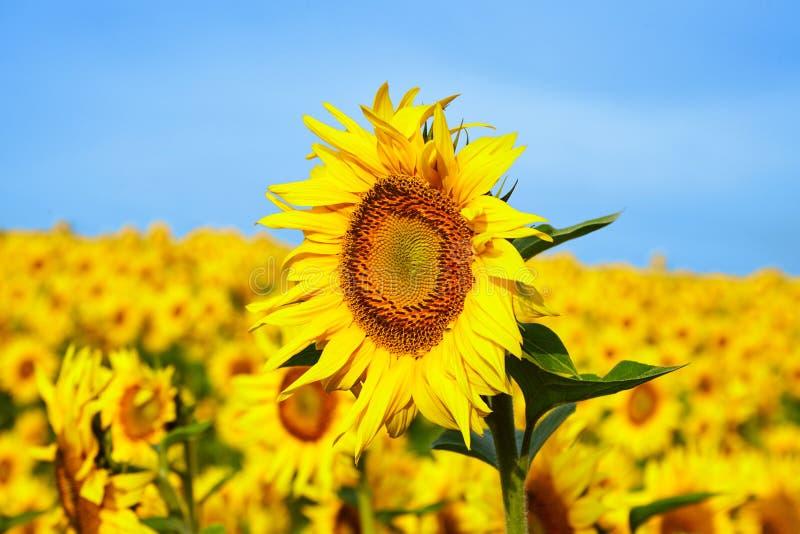 słoneczniki kwitnie w jaskrawym niebieskim niebie zdjęcia stock