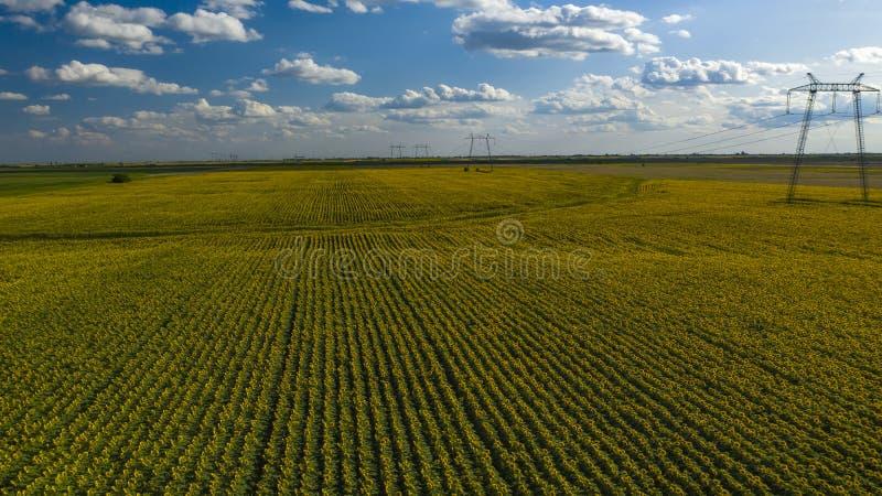 Słoneczniki odpowiadają widok z lotu ptaka S?onecznik zdjęcie stock