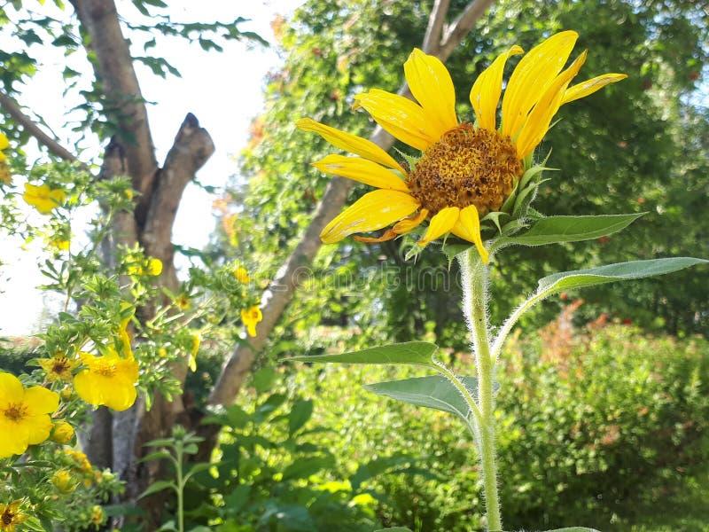 słoneczniki ogrodowe fotografia stock