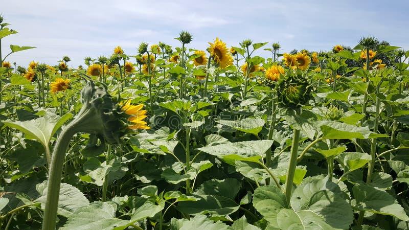 Słoneczniki plenerowi w polu przy słońcem zdjęcia royalty free