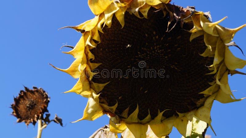 Słoneczniki pożegnalni długi gorący lato fotografia stock