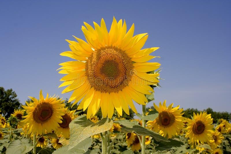 słoneczniki polowe zdjęcie royalty free