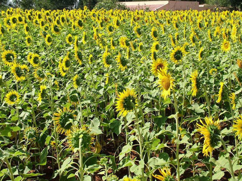 słoneczniki polowe obraz stock