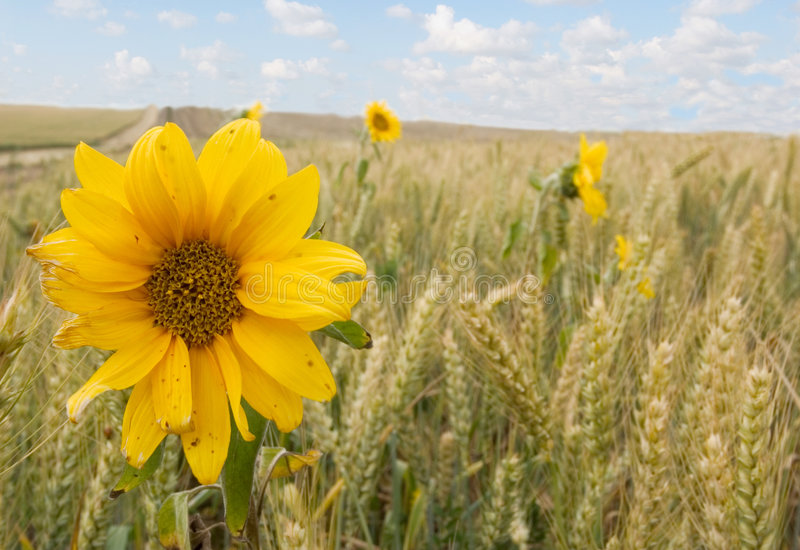 słoneczniki pszeniczni obraz stock