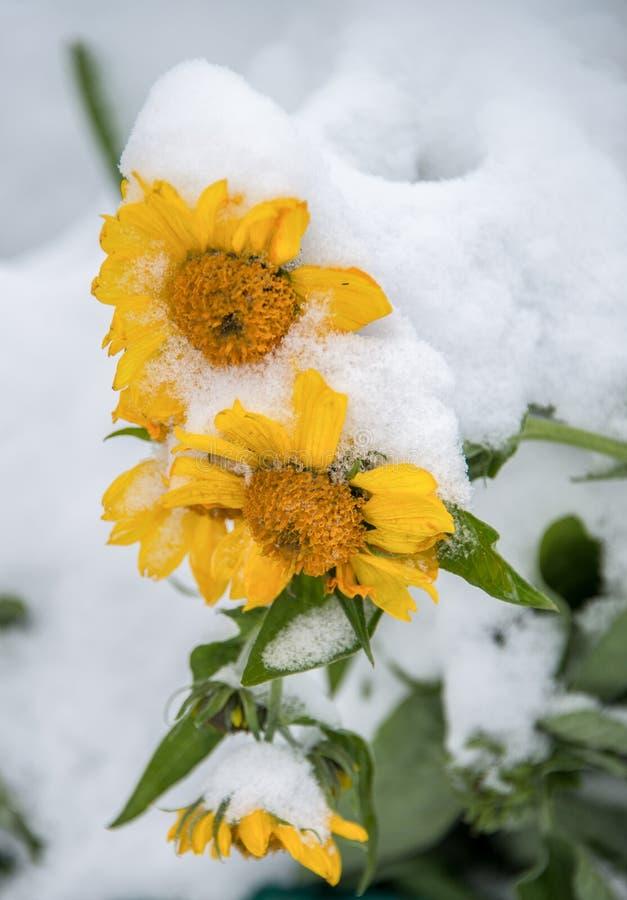 Słoneczniki pudrujący z śniegiem na zimnym wiosna ranku zdjęcia royalty free