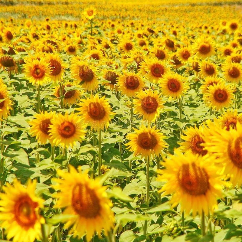 Słoneczniki uprawia ziemię od Adana, Turcja zdjęcie stock