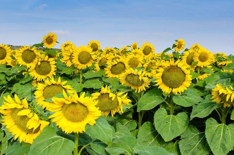 Słoneczniki w śródpolny II zdjęcia royalty free