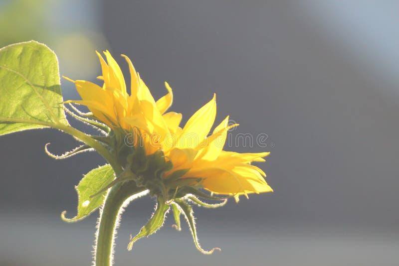 Słoneczniki w świetle słonecznym w ogródzie w holandiach zdjęcie stock