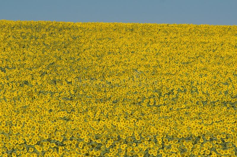 Słoneczniki w kwiacie zdjęcia stock