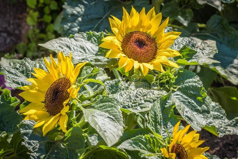Słoneczniki w lata słońcu obraz royalty free