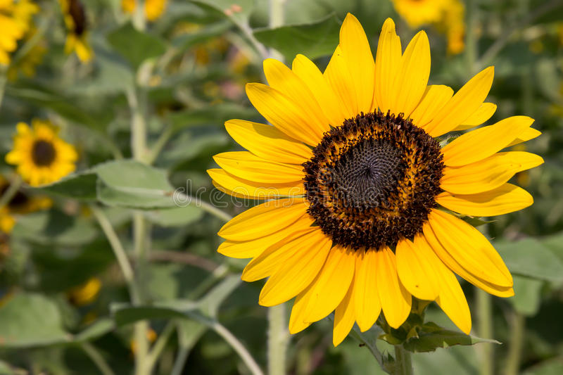 Słoneczniki w ogródzie obrazy royalty free