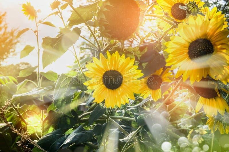 Słoneczniki w ogródzie lub parku z światłem słonecznym obraz stock