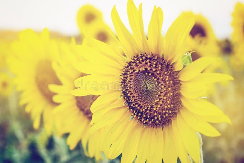 Słoneczniki w ogródzie z miękką ostrością obrazy royalty free