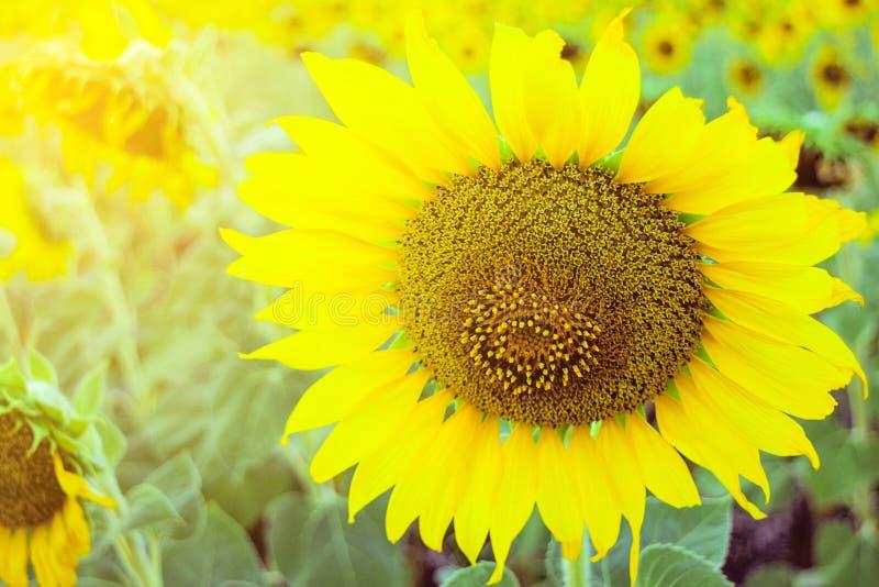 Słoneczniki w ogródzie z miękką ostrością fotografia stock