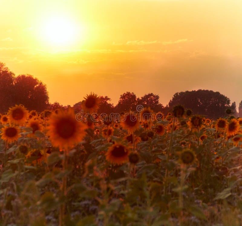 Słoneczniki w położenia słońcu fotografia stock