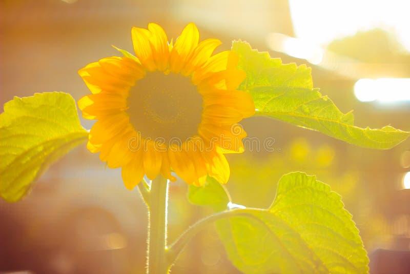 Słoneczniki w słońcu zdjęcie royalty free