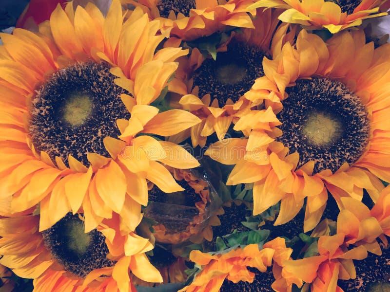 Słoneczniki zamykają w górę tła lub tekstury obraz stock