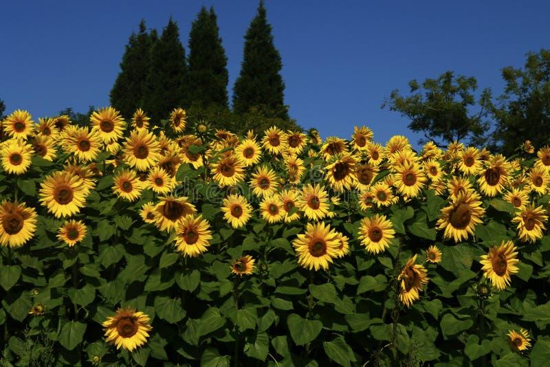 Słoneczniki zasadzający wpólnie obraz stock