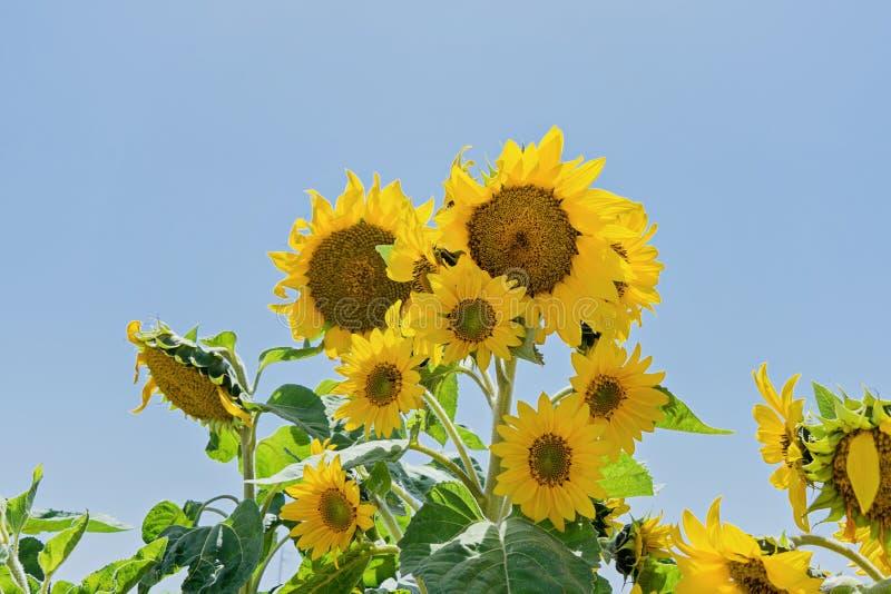 Słonecznikowa kwiat głowa jak roślina w słońce promieniach zdjęcia stock
