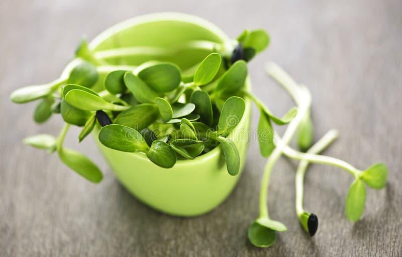 słonecznikowe zielone filiżanek flance zdjęcie stock
