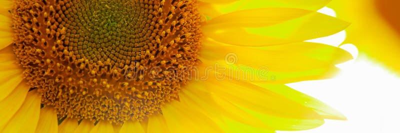 Słonecznikowego okręgu dużego żółtego kwiatu ciepły tło fotografia stock