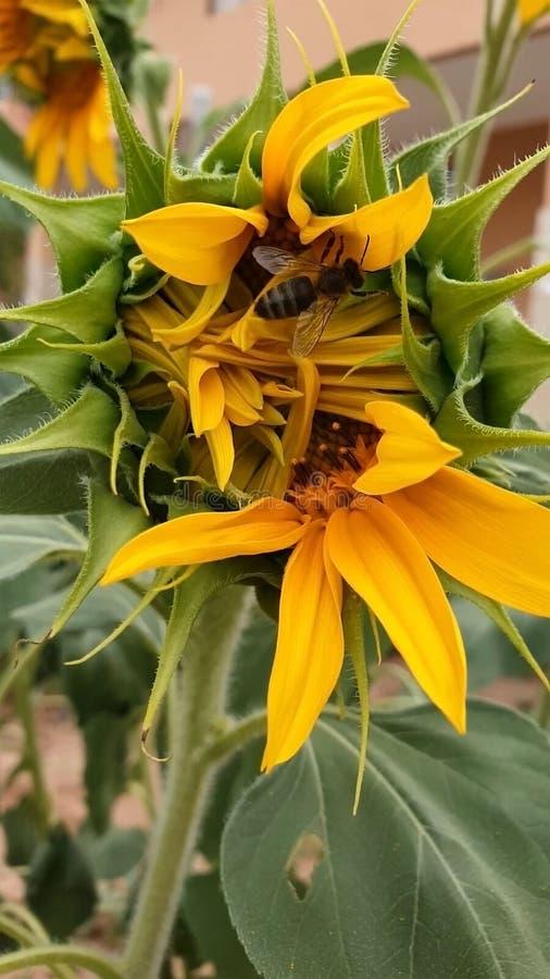 Słonecznikowi roślina kwiaty obraz stock