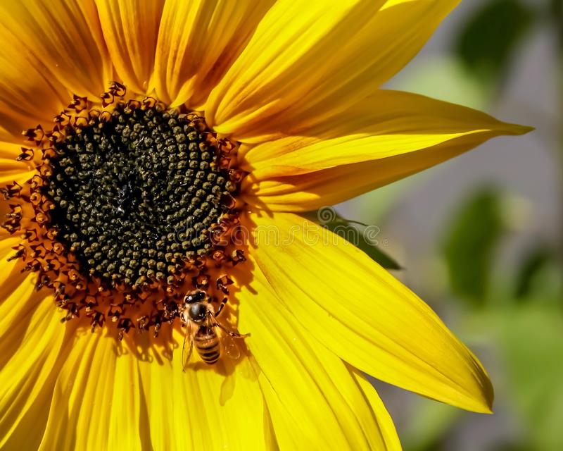 Słonecznikowy Honeybee fotografia royalty free