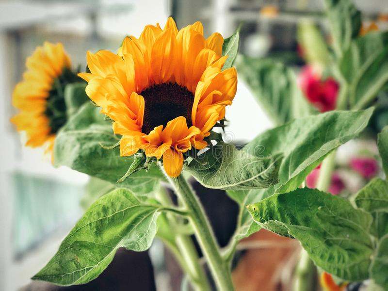 Słonecznikowy kwitnienie obraz stock