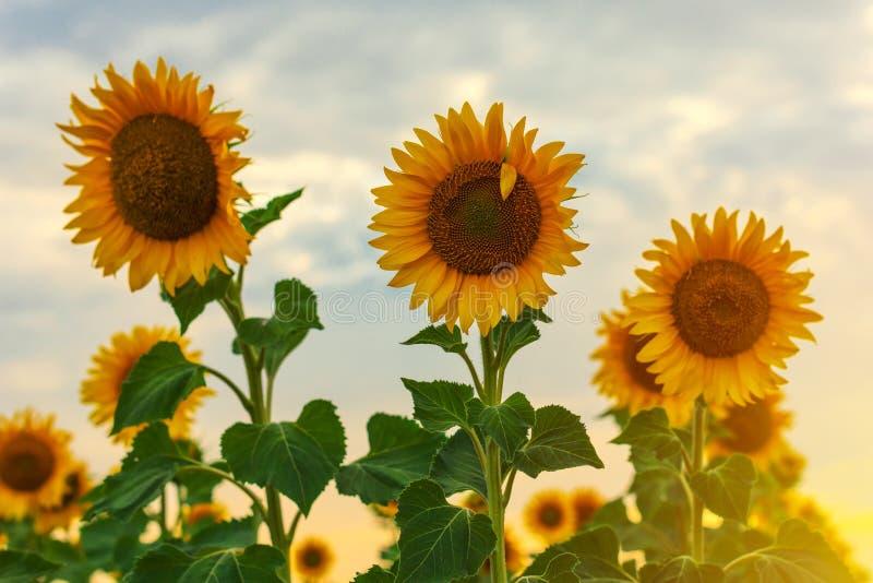 Słonecznikowy kwitnienie w polu obrazy stock