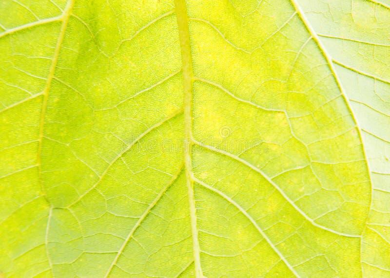 Słonecznikowy liścia ogród, tekstura, rolnictwo, kwiat, botanika obraz royalty free