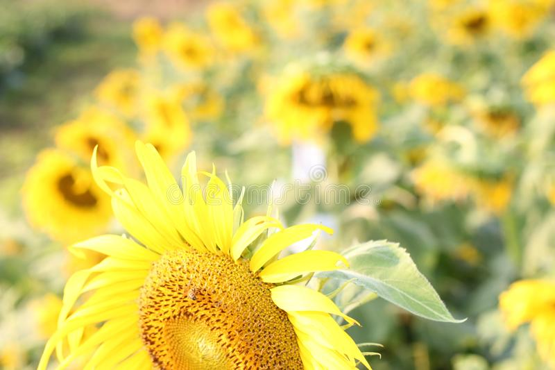 Słonecznikowy naturalny tło i słoneczny dzień obrazy stock