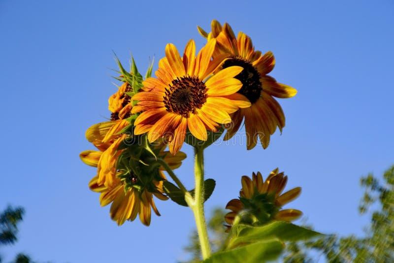 Słonecznikowy rośliny kwitnienie zdjęcie stock