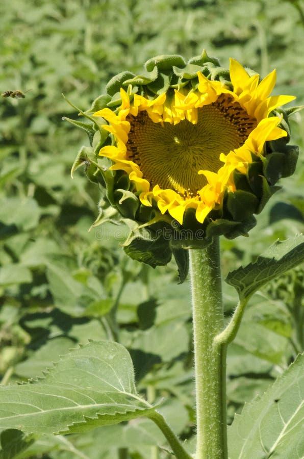 Słonecznikowy serce zdjęcie royalty free