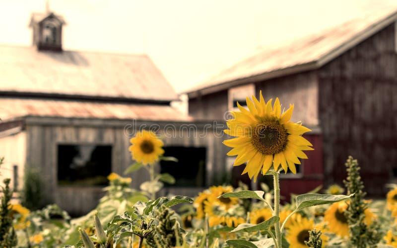 Słonecznikowy trwanie pionowy na kraju gospodarstwie rolnym fotografia stock