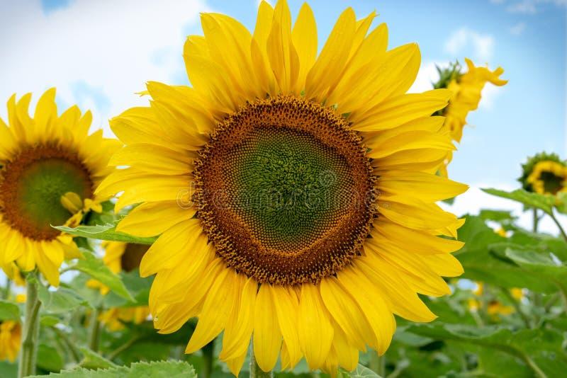 Słonecznikowy zakończenie przeciw niebieskiemu niebu, zdjęcie royalty free