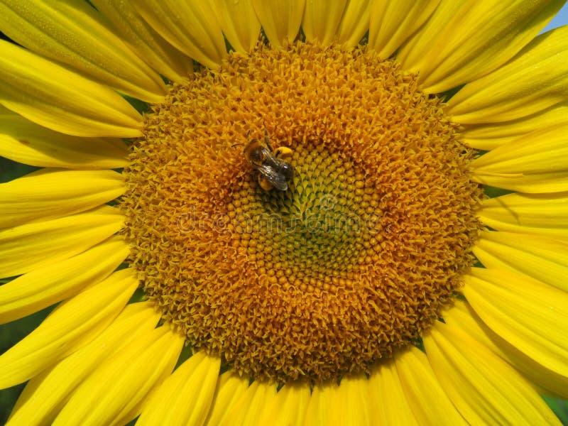 Słonecznikowy zakończenie z pszczołą fotografia royalty free