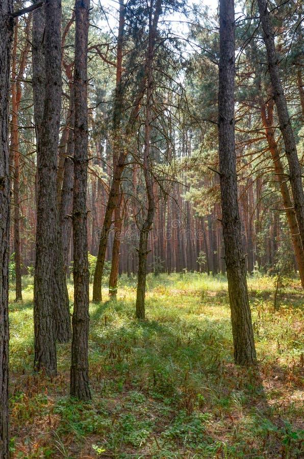 Słoneczny dzień w lasowym jesieni sosny lesie zdjęcia royalty free