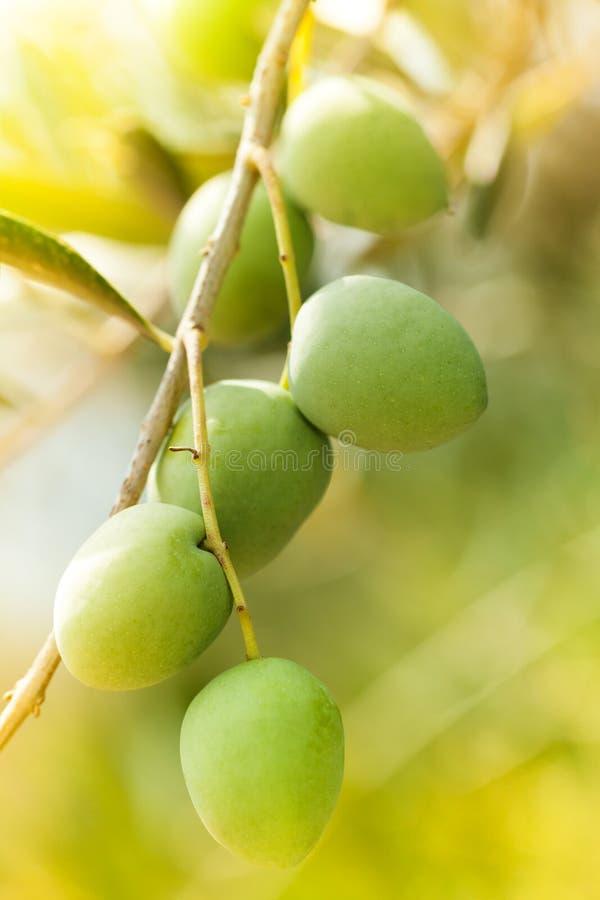 Słoneczny dzień w oliwka ogródzie zdjęcia royalty free