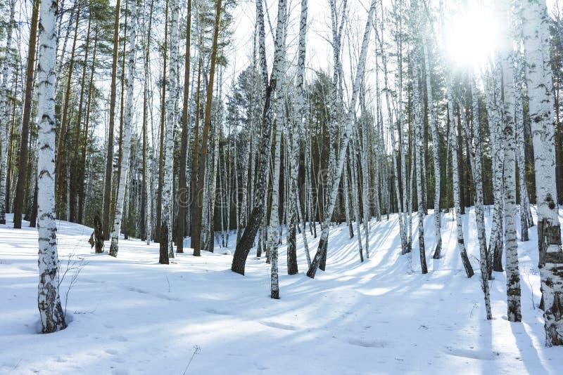 Słoneczny Dzień w zimy brzozy drzewach Lasowych fotografia stock