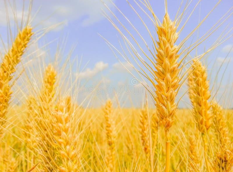 Słoneczny dzień z pszenicznym polem obrazy stock