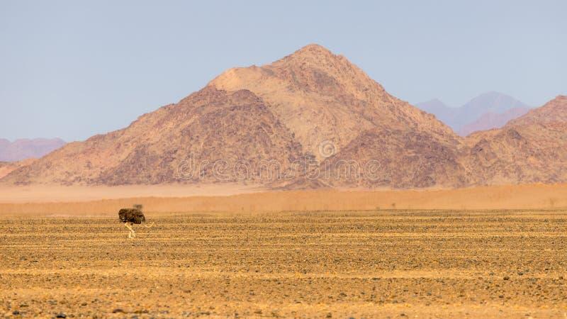Słoneczny struś spaceruje wzdłuż nieutwardzonej drogi między Walvis Bay a Sesriem w Namibii zdjęcia royalty free