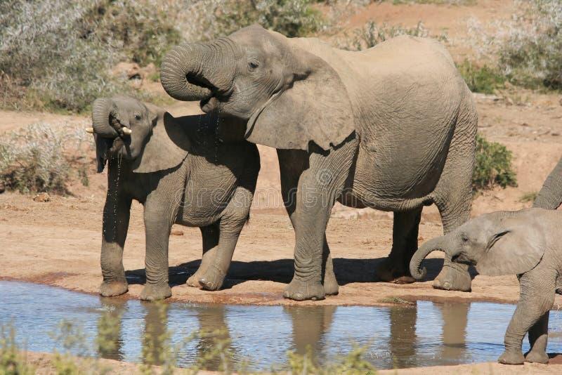 słoni afrykańskich dziurę wody obraz royalty free