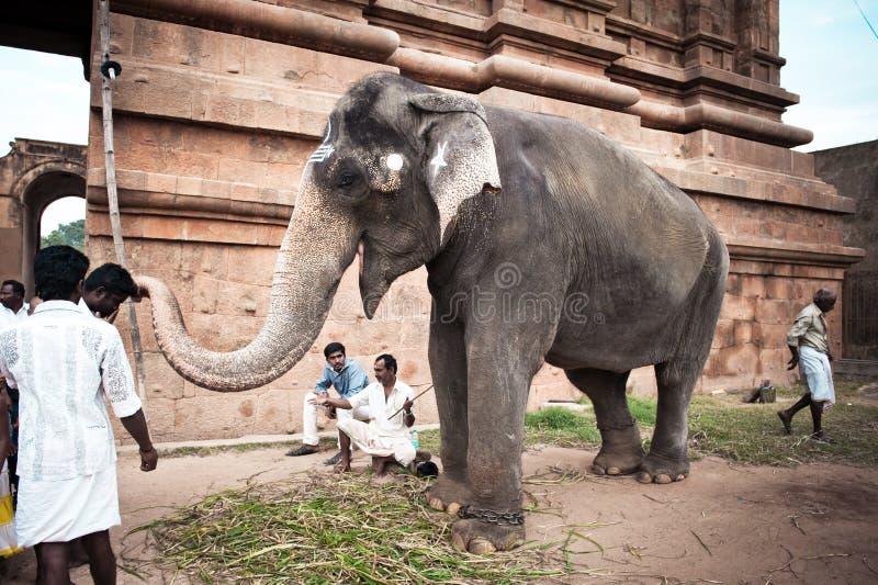 Słoni błogosławieństw pielgrzymi przy Hinduską Brihadeeswarar świątynią. India obraz stock