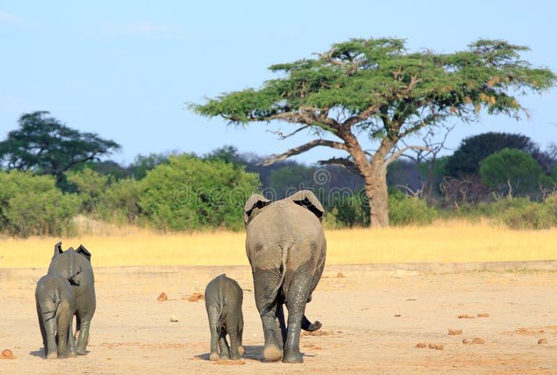 Słoni chodzący towwards daleko od akacjowy drzewo w Hwange zdjęcie royalty free