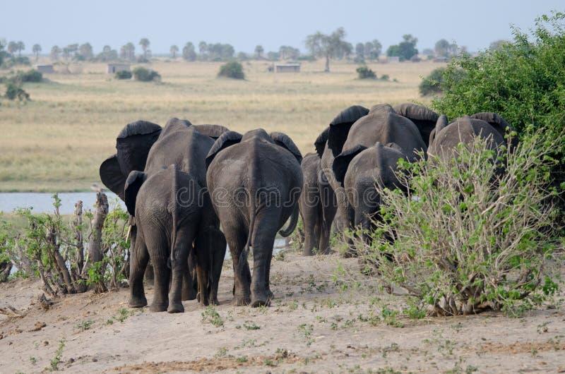 Słoni krupony zdjęcia stock