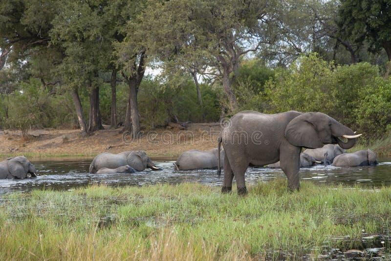 Słoni napoje podczas gdy stado Krzyżuje rzekę zdjęcia royalty free